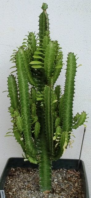 plante grasse qui ressemble a un cactus