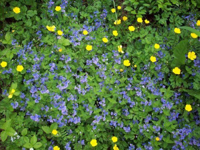 10 blau blühende Bodendecker für Ihren schönen Garten