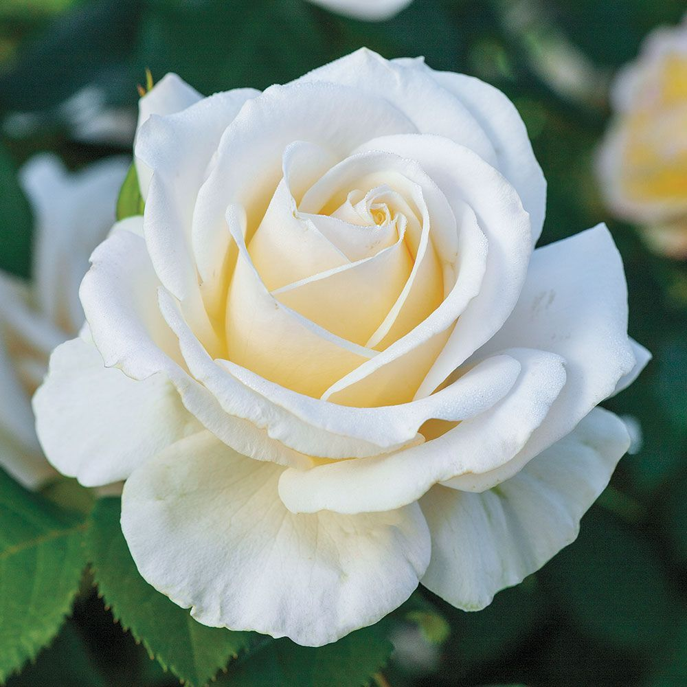 Rose Easy Spirit™ is part of Hybrid tea roses, Planting roses, Heirloom roses, Tea roses, Organic vegetable garden, Flower garden - Full ivory blossoms with buttercream centers and up to 3040 petals apiece add classic beauty and elegance to any garden, and they're great for cutting