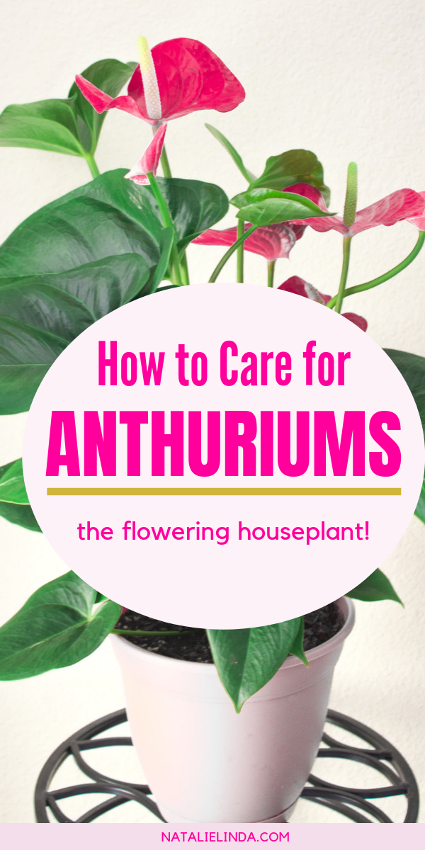Anthuriums How To Care For This Long Blooming And Tropical Houseplant Flowering House Plants House Plant Care House Plants