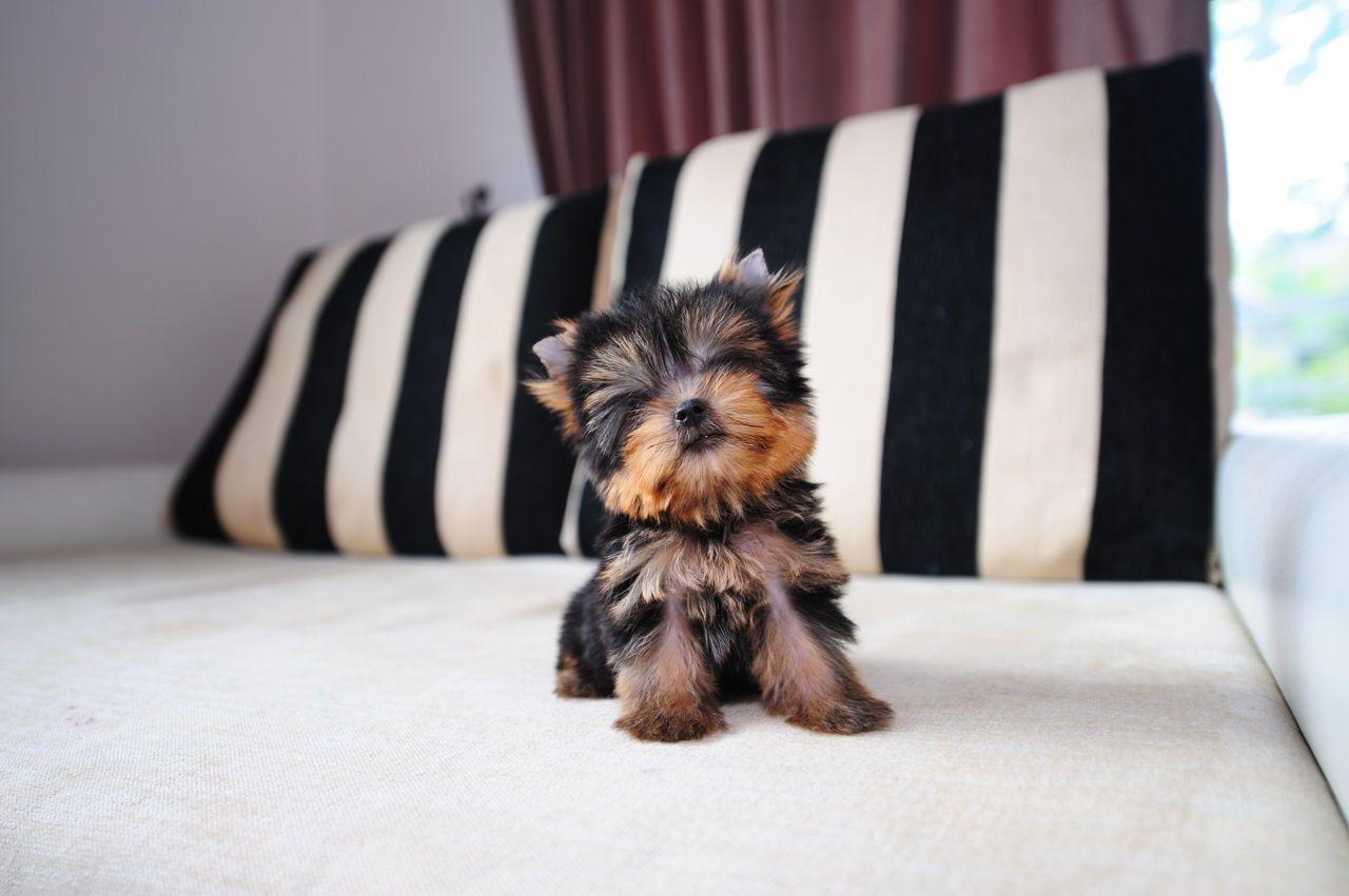 Yorkshire Terrier Puppy Teacup Yorkie Yorkshire Terrier