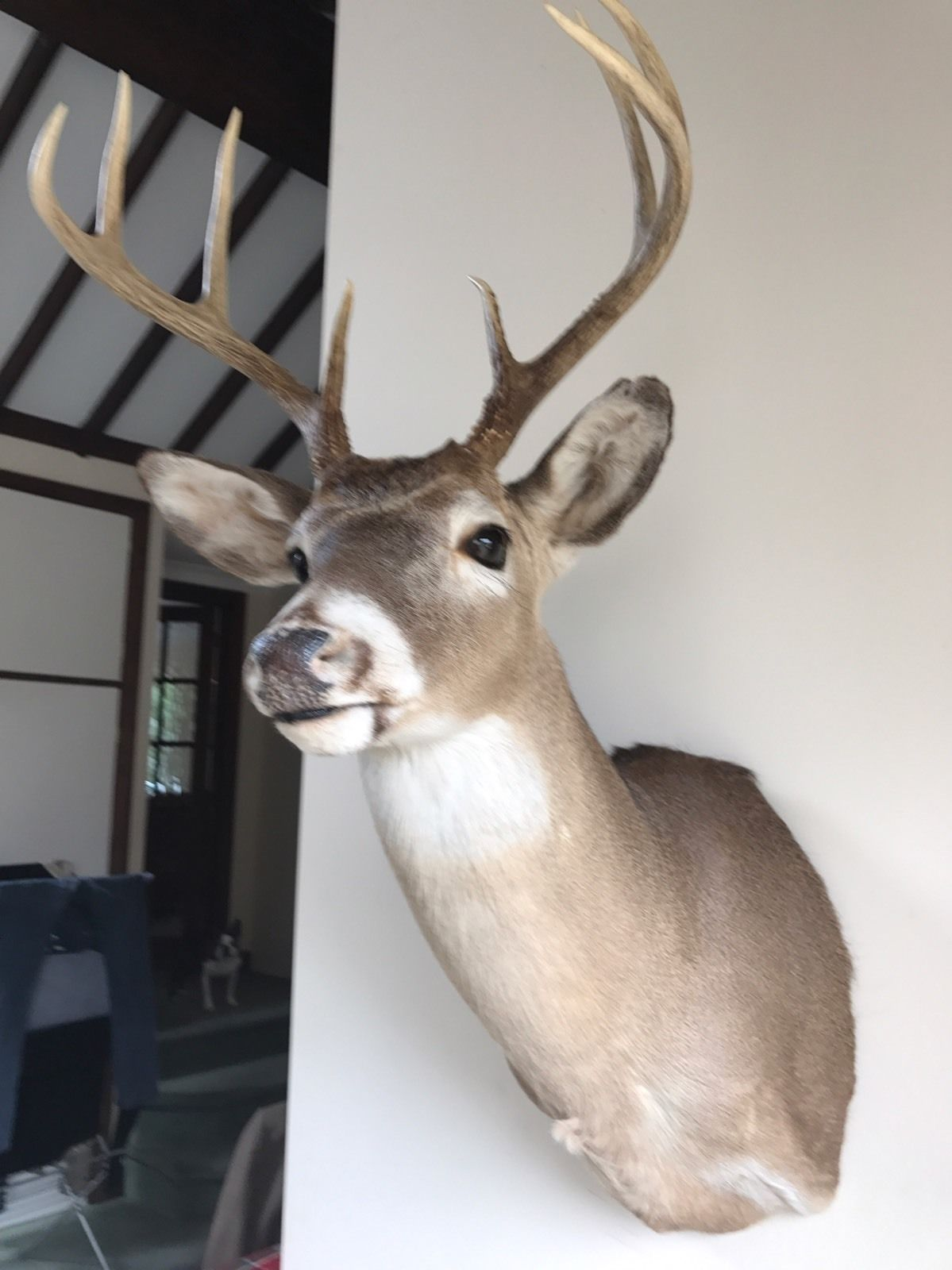 ebay corporate office. Ebay Head Office. North American Stag Doe Deer Bust Antlers Horns Taxidermy Hide | Corporate Office E