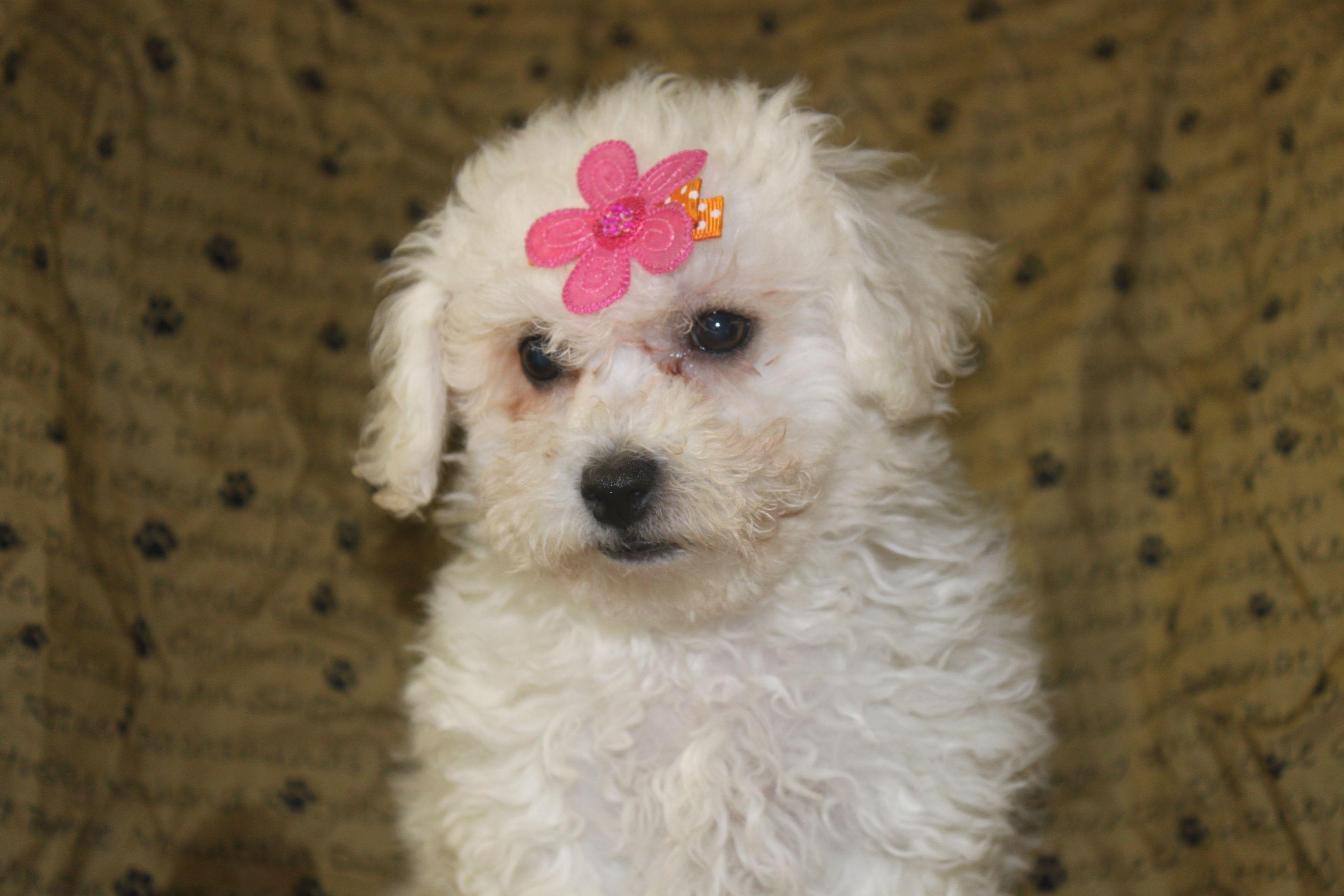 Bichon Frise Puppies For Sale In Shippensburg Pennsylvania