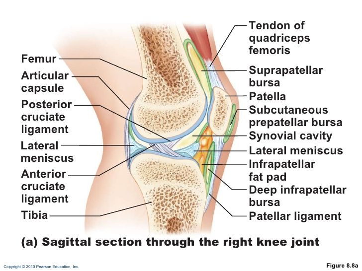 Diagram Of Knee Joint Sagittal View Application Wiring Diagram
