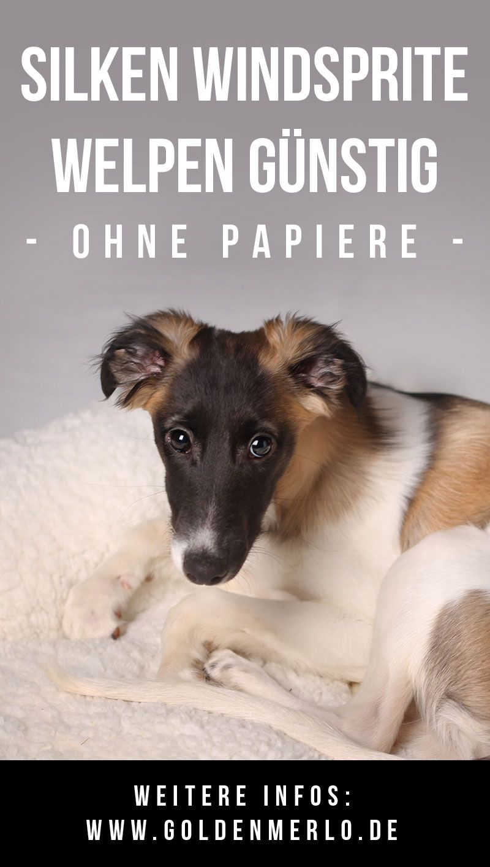 Silken Windsprite Welpen Gunstig Ohne Papiere Kaufen Du Willst Einen Lieben Familienhund Interessierst Dich Weder Fur Zucht Welpen Welpen Kaufen Hundewelpen