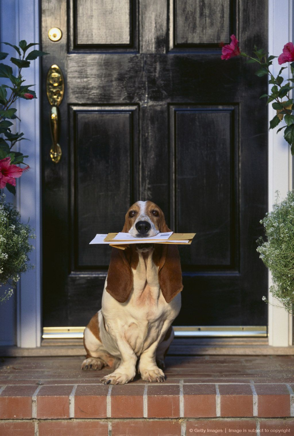 Basset Hound Waiting with the Mail lo necesito