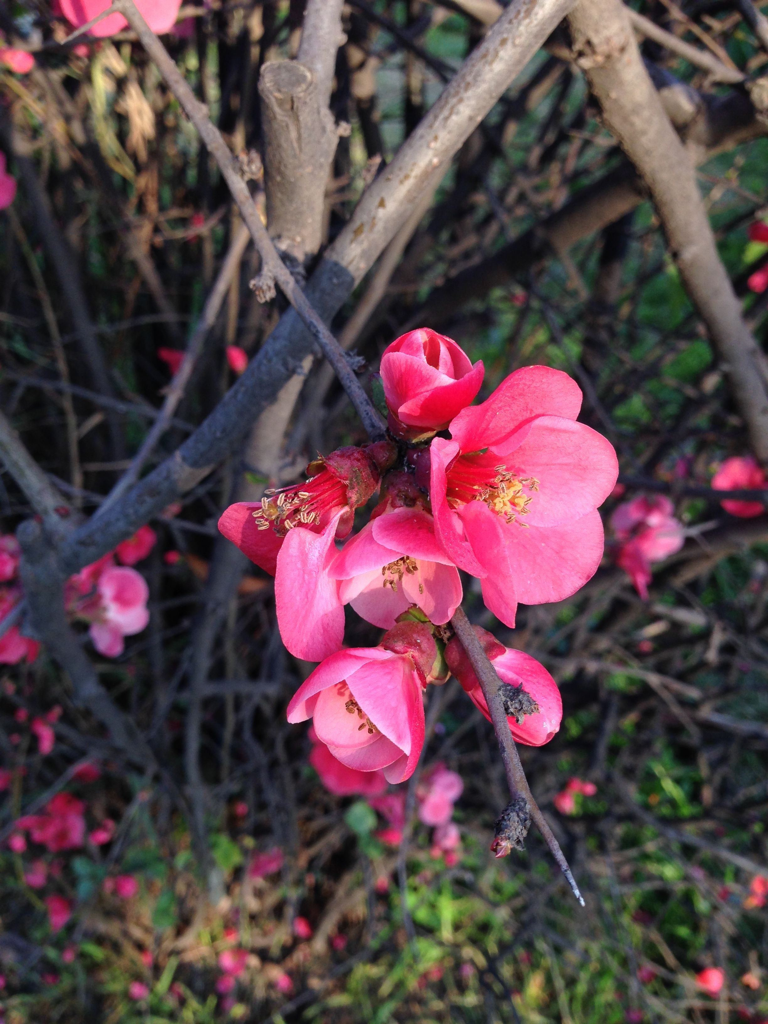 Flowers Chaenomeles Pink Lady
