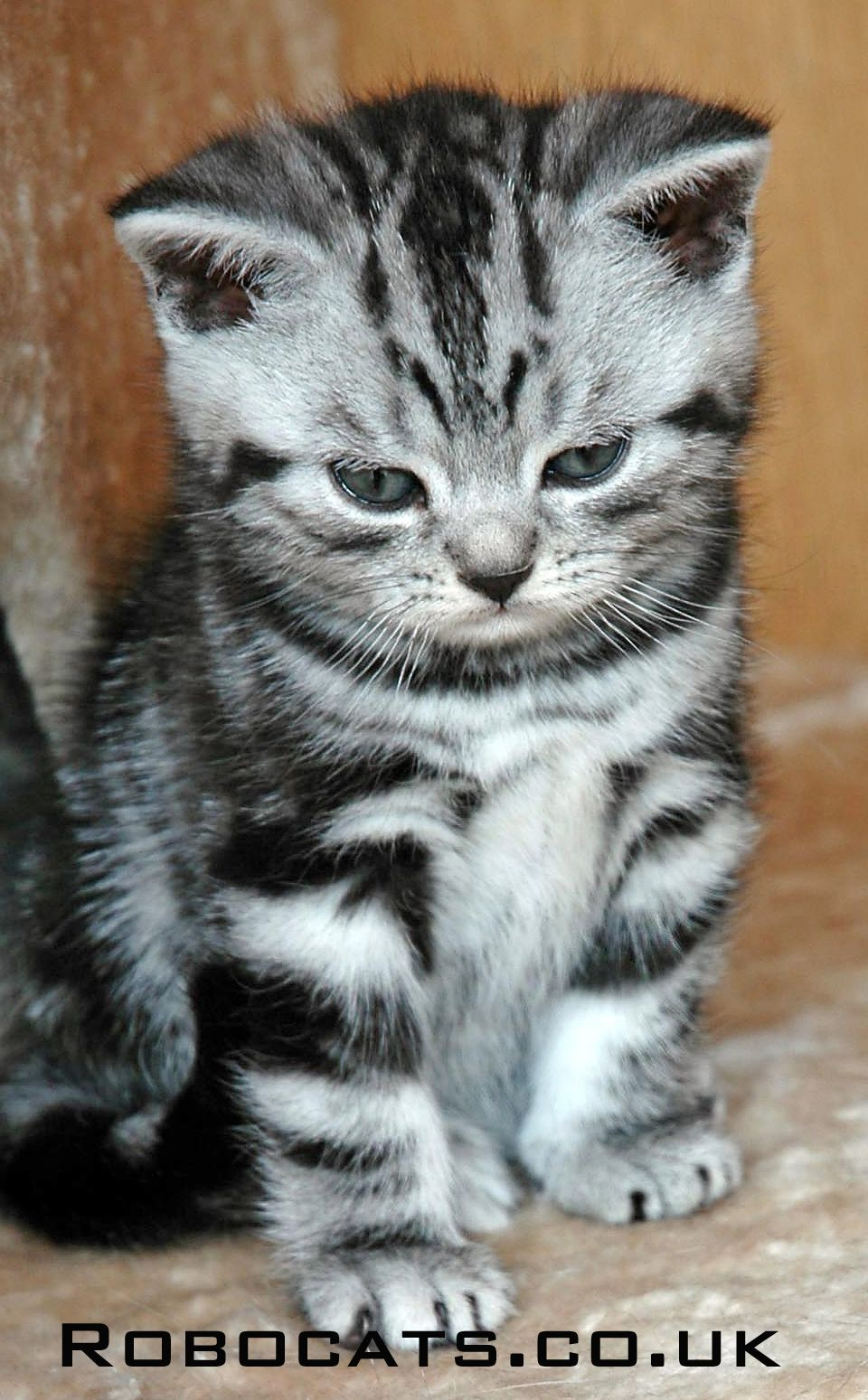When It Comes To Choosing That Perfect Pet Look No Further Than A British Shorthair Silver Tabby Kitten G In 2020 Silver Tabby Cat Silver Tabby Kitten Beautiful Cats