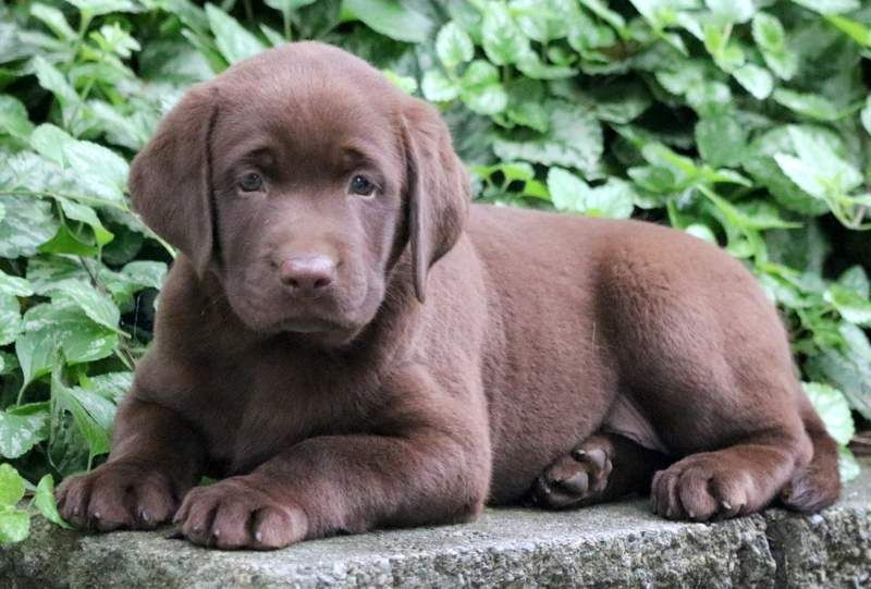 Chocolate Labrador Retriever Puppies For Sale Puppy Pa Lab Breeder Linden Pa Lab Br In 2020 Labrador Retriever Puppies Chocolate Labrador Retriever Labrador Retriever