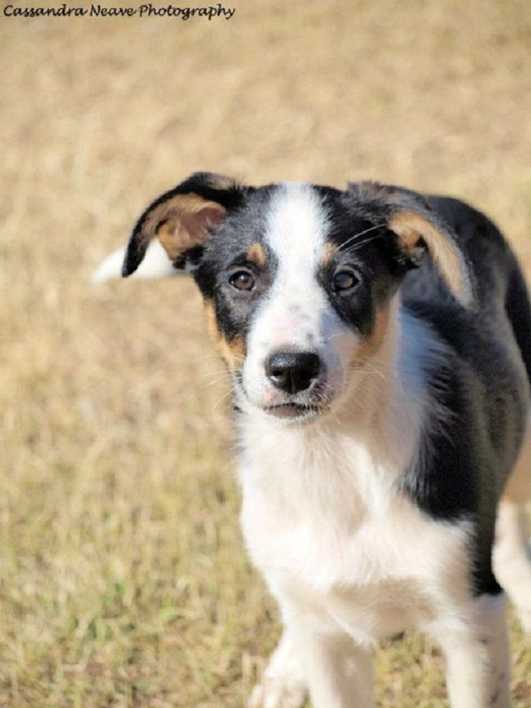 Border Collie Puppies Short Hair Zoe Fans Blog Short Haired