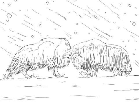 Musk Oxen Fighting Coloring Page Musk Ox Animal Coloring Pages