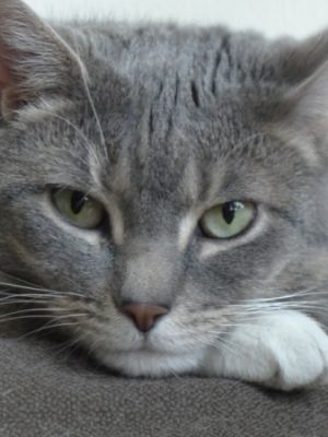Jub Jub Cat Grey Tabby Cats Grey Cat Breeds Cats