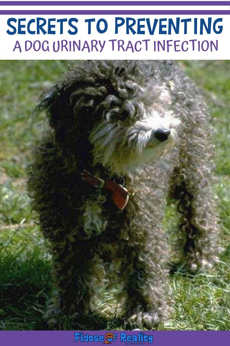 Secrets To Preventing A Dog Urinary Tract Infection Urinary Tract Infection Urinary Tract Infection Causes Dog Uti