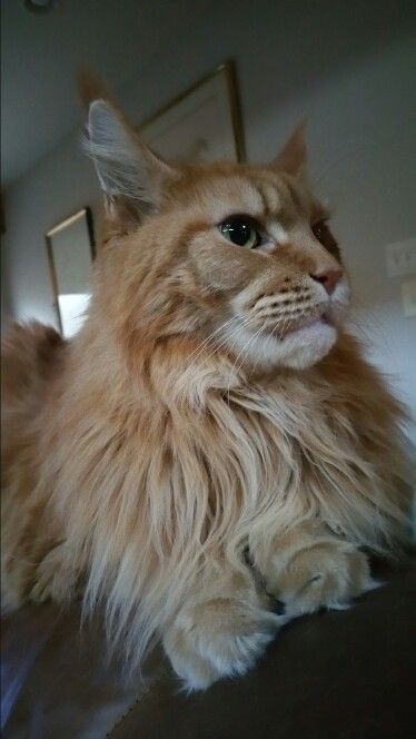 Our Skye, a Red Maine Coon female from Megacoon Cattery in