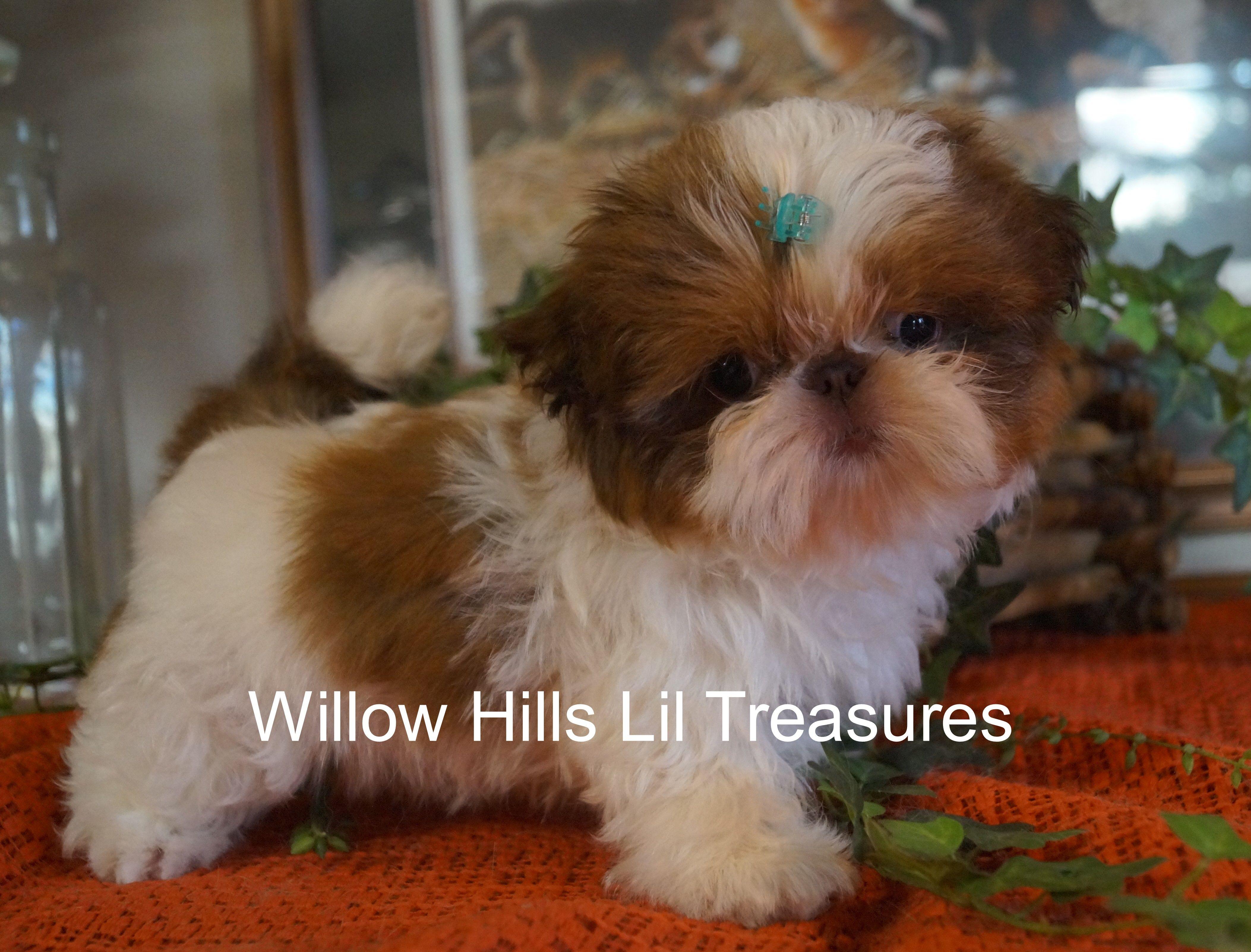 Willow Hills Lil Treasure Shih Tzu Puppy Shih Tzu Puppy Shih Tzu Puppies