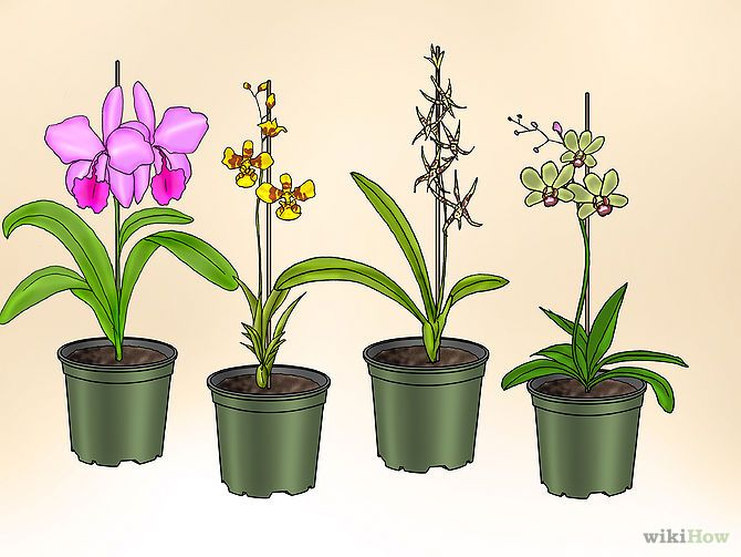 Care For Orchids Orchid Care Oncidium Orchids Orchids