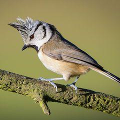 Pin Auf Birds Paridae Tits Chickadees Titmice