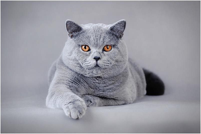 Pin By Karissa Tepp On Kitty Business British Shorthair Cats
