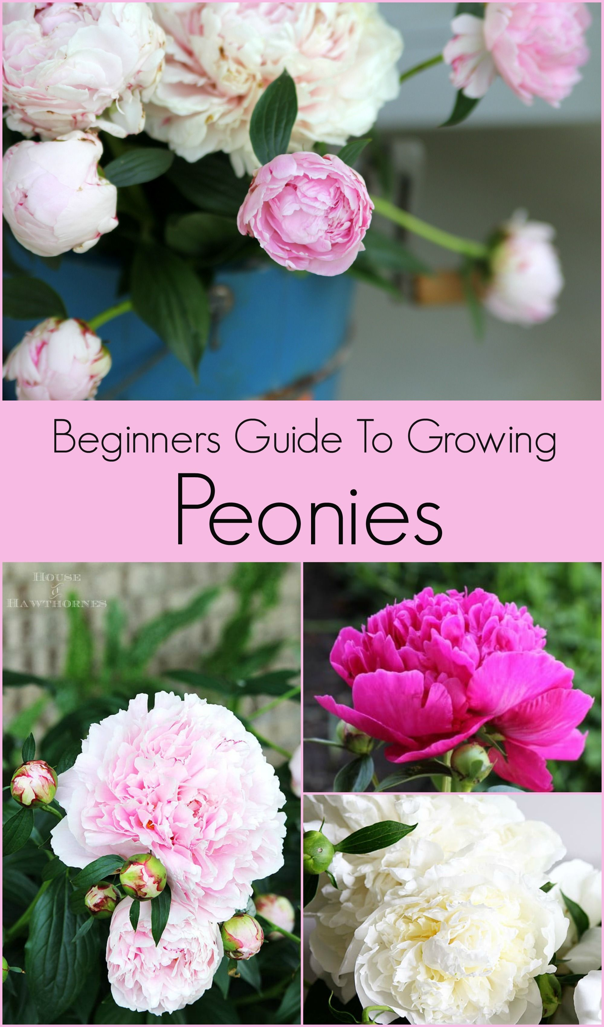 How To Grow Peonies Your Neighbors Will Envy #gardenlandscaping