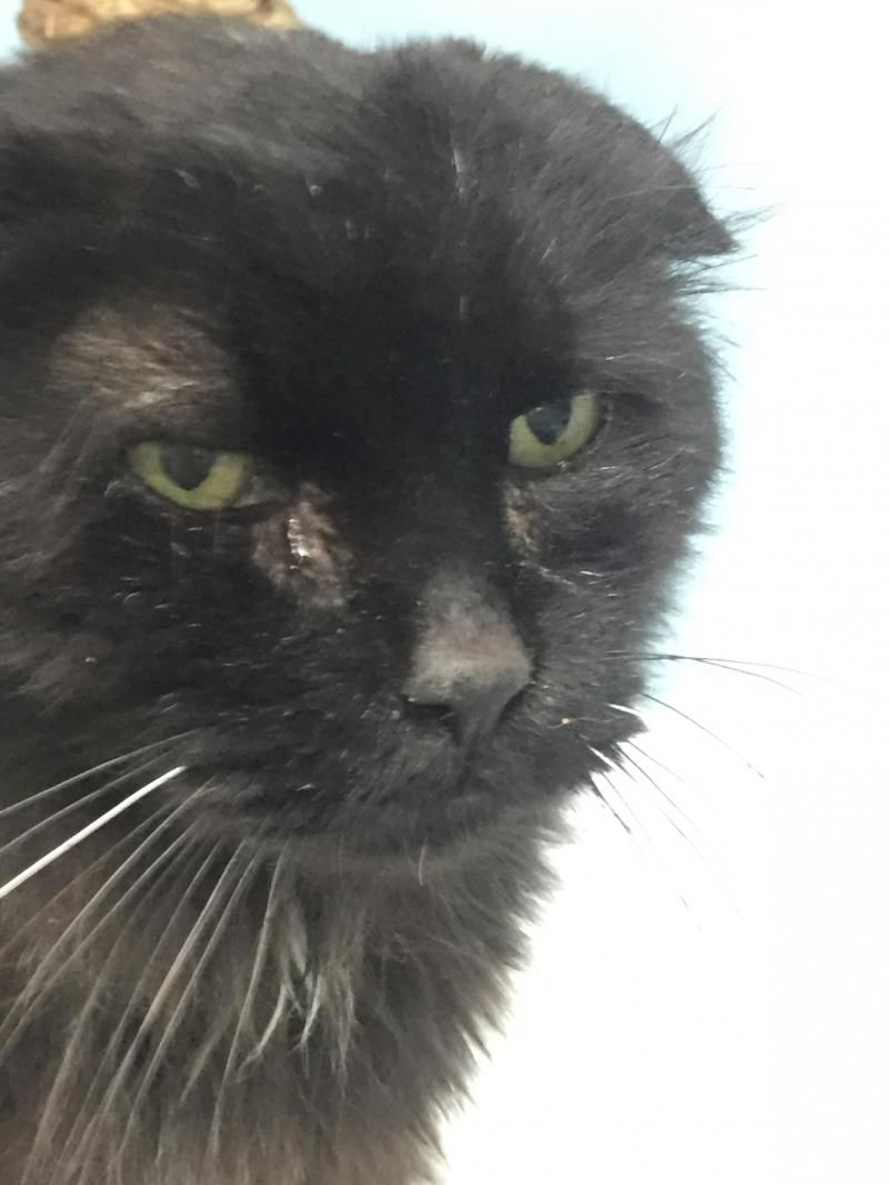 Adopt Salem on Long haired cats, Animal shelter, Long