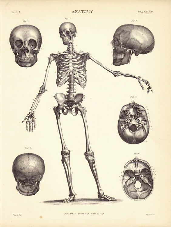 Anatomy Of The Human Skeleton Front View Original Antique Wood Cut