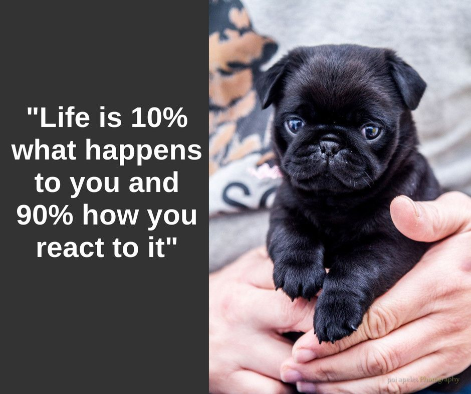 Life Is 10 What Happens To You And 90 How You React To It Puglia Pugs Pugsofinstagram Puglife Puglove Pugst Pugs Funny Pug Love Pug Puppies