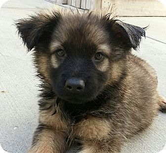 Chicago Il Chow Chow German Shepherd Dog Mix Meet Petunia A