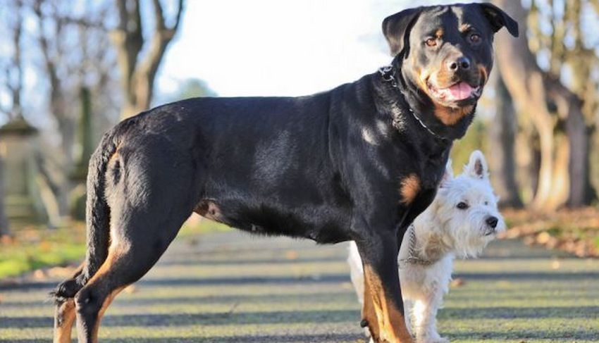 Pin By Dejanea Gray On Dogs Rottweiler Puppies Rottweiler Mix