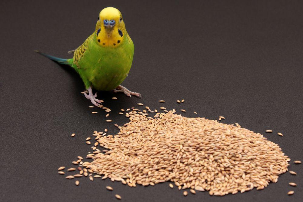 Budgie Seeds Budgies Seeds Animals