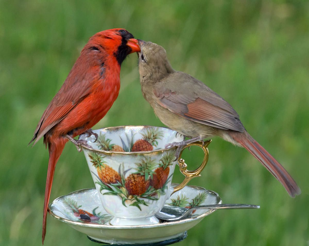 The Young Cardinal Resembles An Adult Female But Is A Richer