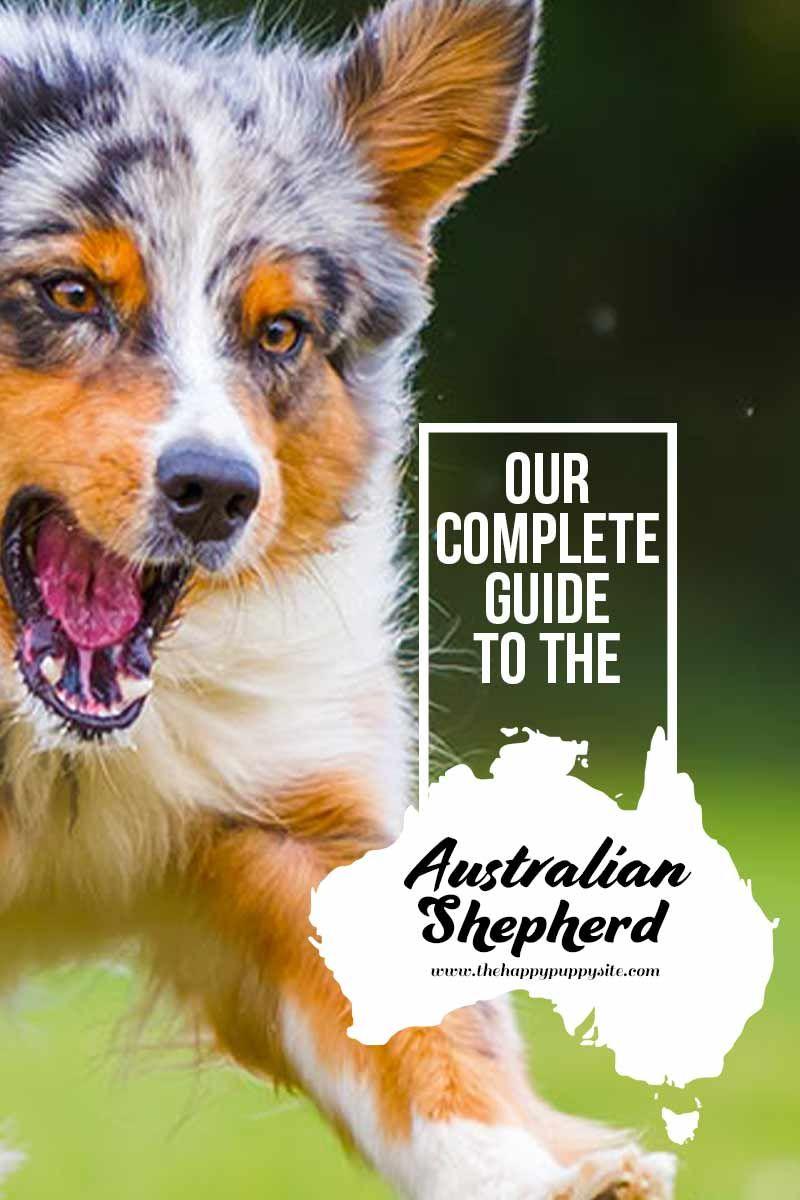 Australian Shepherd Dog Breed Information Center Australian