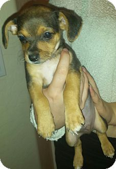Pin By Moe Grealis On Dogs Pinterest Chihuahua Beagle Mix And