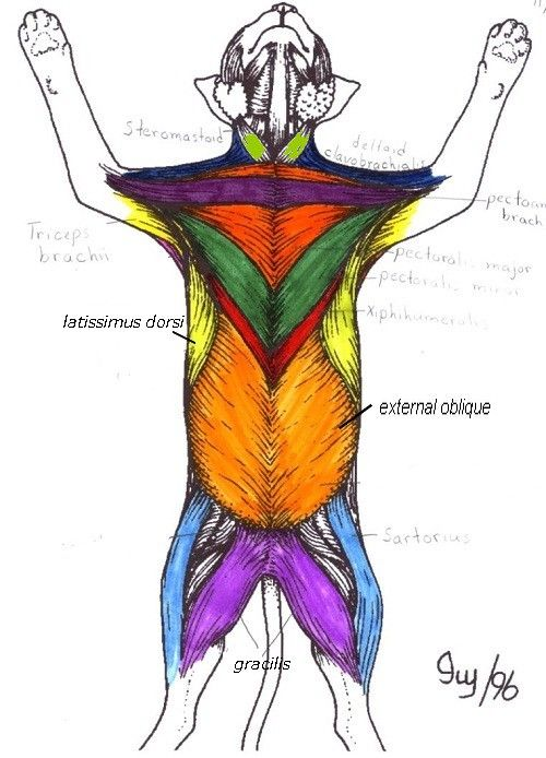 Muscles 5 Cat Muscle Anatomy Diagram Ventral Region Key