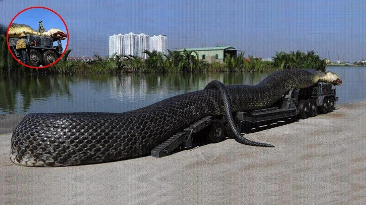 Học tiếng anh với Biggest Snakes in the World (Anaconda