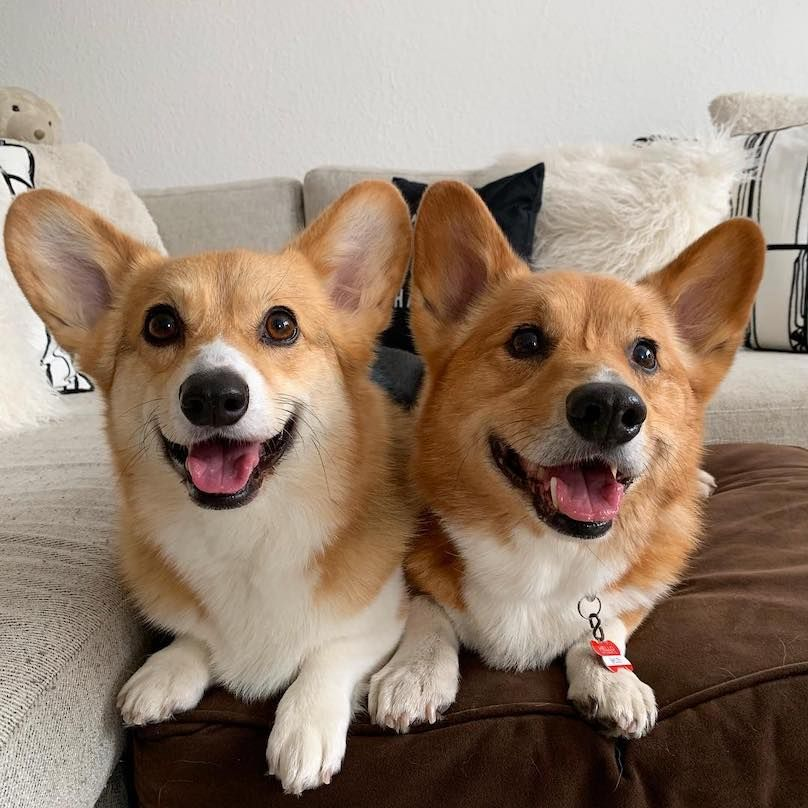Pembroke Welsh Corgi Breed Information Guide Quirks Pictures