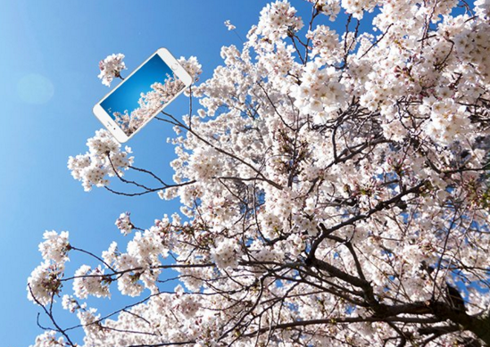 Ultimate Selfie Stick Uw Cherry Blossoms Know They Re Beautiful Use Twitter Feed To Show Off Geekwire Cherry Blossom Cherry Blossom Tree Blossom