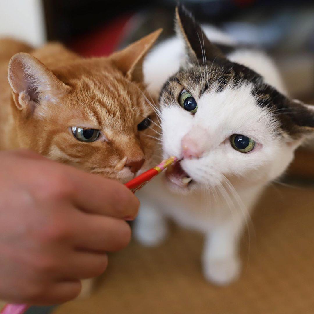 チュール 猫 チャオ