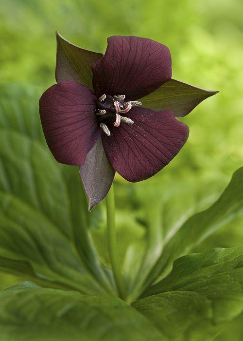 Wake Robin Trillium Erectum Purple Trillium By Cindy Dyer
