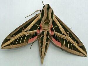Eumorpha fasciatus