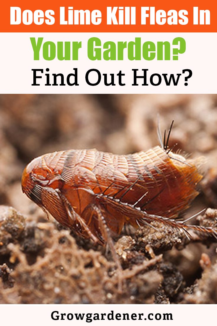 Does Lime Kill Fleas In Your Garden Find Out How Lime For Lawns Organic Lawn Care Organic Lawn