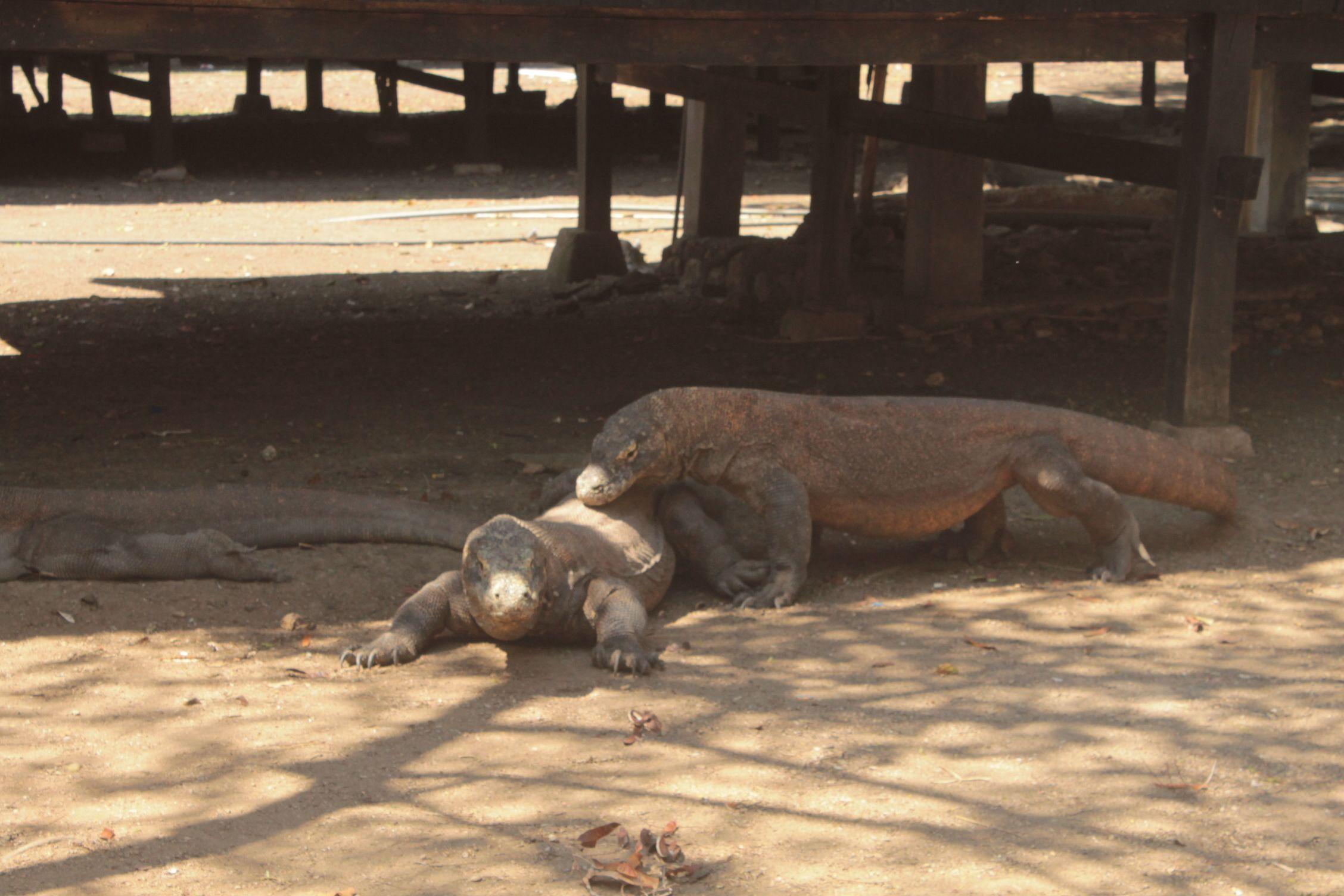 Perezosos dragones de Komodo