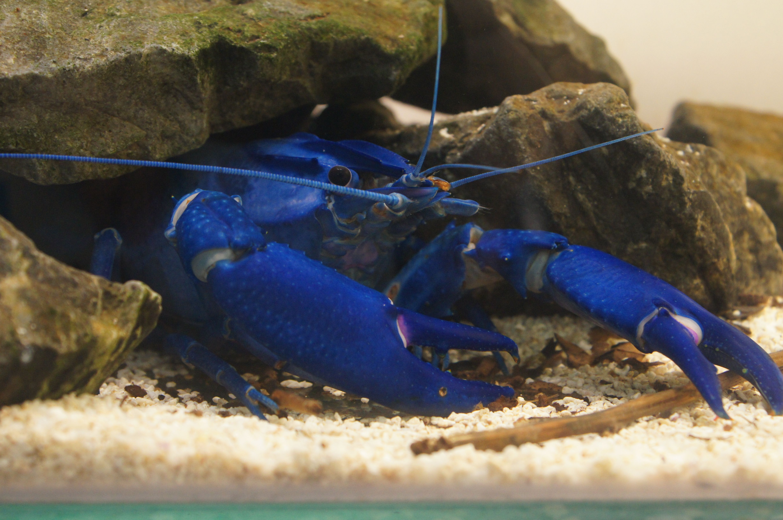 Blue Crayfish My Style Beautiful sea creatures