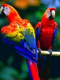 2 Parrots Mobile Wallpaper Pet Birds Parrot Beautiful Birds