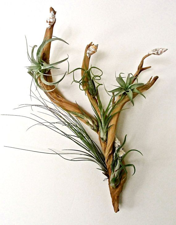 Hanging ghost wood air plant garden air plant art living for Air plant art