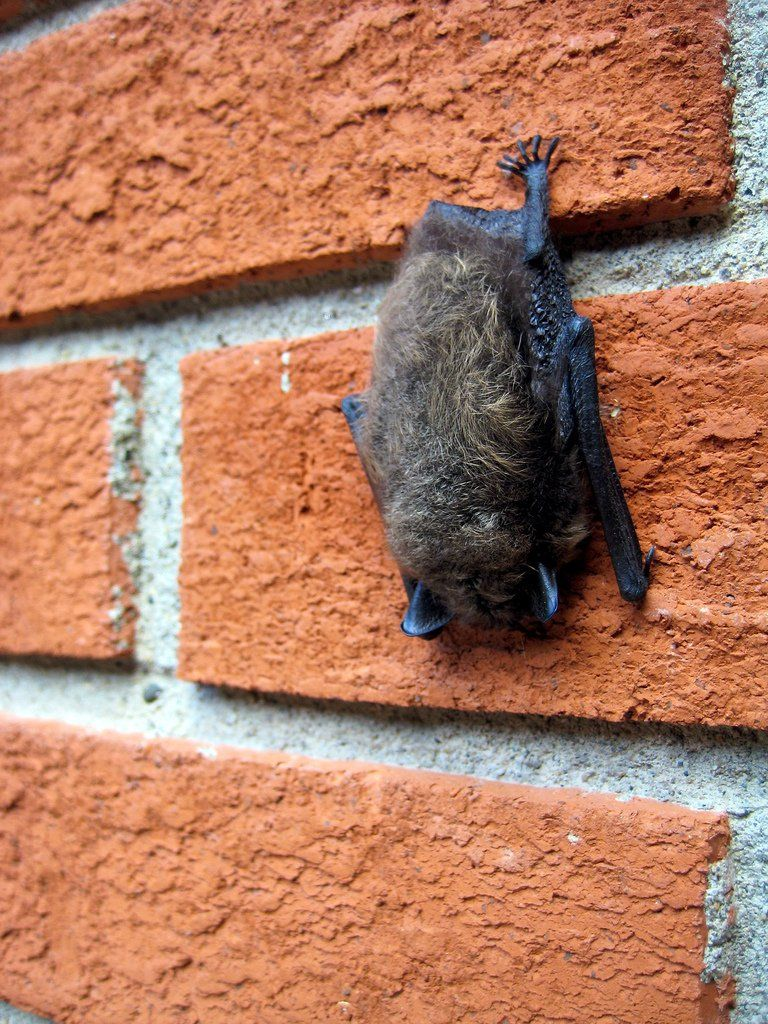 How to get rid of bats from your home or building