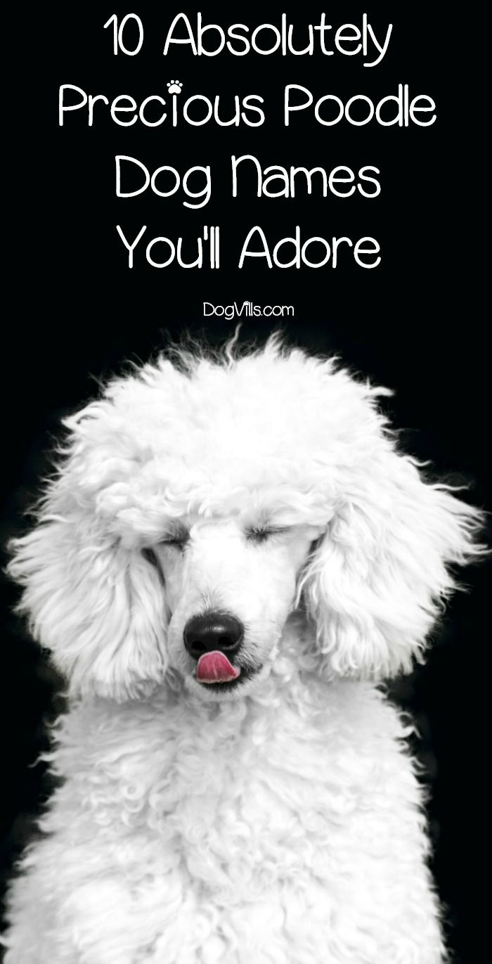 10 Absolutely Precious Poodle Dog Names You Ll Adore Dog Names