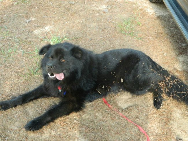 Lab Chow Labrador Chow Mix Info Temperament Training Puppies