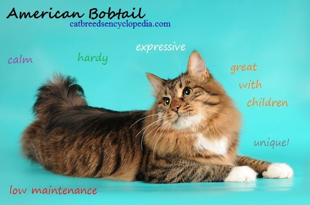 American bobtail kittens for sale in ohio