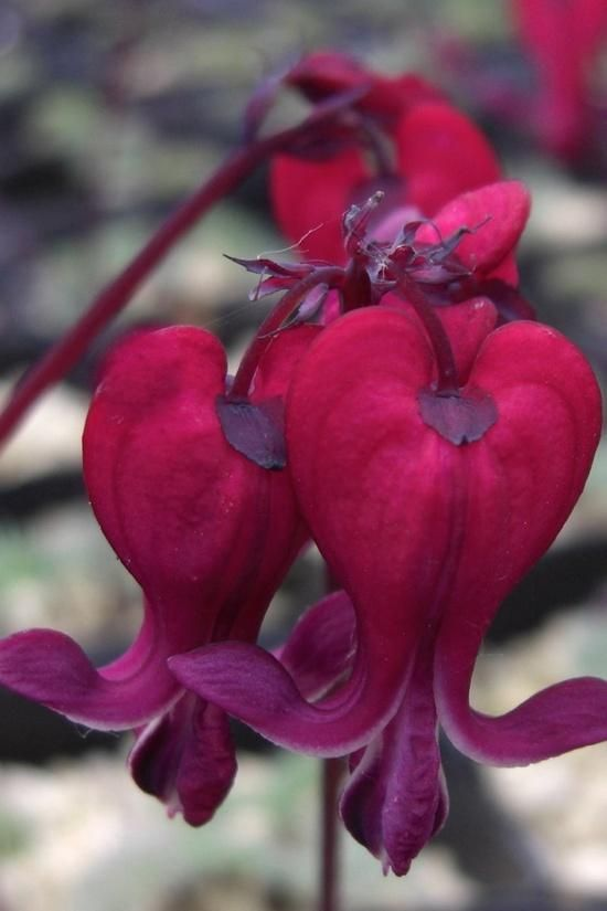 Robot Check Unusual Flowers Bleeding Heart Flower Bleeding Heart