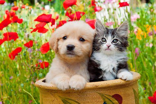 Golden Retriever Puppy And Tabby Kitten